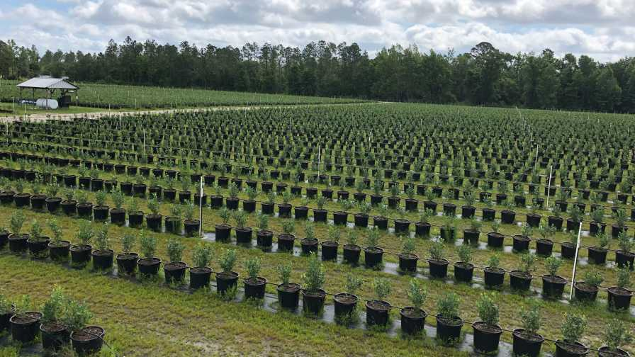 Organic blueberry plants at Island Grove Ag Products in Hawthorne, FL